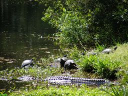 Alligator and turtles sunbathing