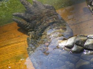 Utan King of Crocs\' leg