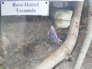 Haired Tarantula Exhibit at Alligator Adventure