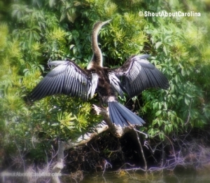 Beautiful Anhinga inside the Forest Preserve
