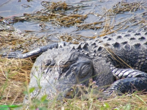 I'm beautiful! Alligator sun bathing at Huntington Beach State Park