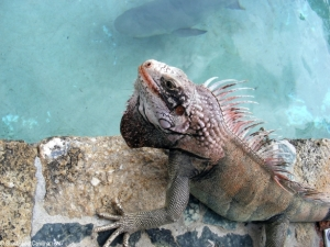 Iguana watching the shark feeding at Coral World