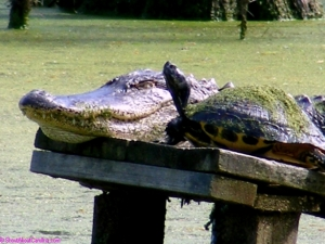 Alligator soaking the sun next to his best pal