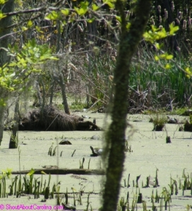 Beaver Dam at the Great Swamp Sanctuary