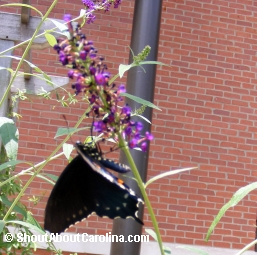 Black Beauty Swallowtail using its proboscis to eat nectar