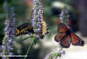 Monarch and Tiger Swallowtail, the most popular butterflies in the exhibit