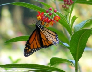 The Mighty Monarch takes 5 generations to complete the annual North American migration