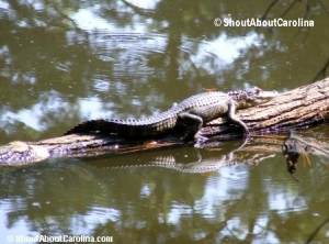 Cute baby alligator resting on a log at Sea Pines