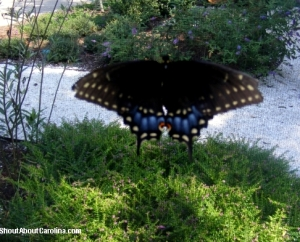 Black Beauty Swalowtail, most common butterfly in the Lowcountry