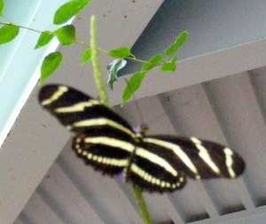 Zebra Longwing warrior