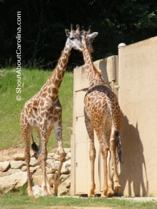 Giraffe Greetings from Greenville Zoo