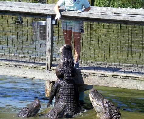 Alligator Feeding Myrtle Beach