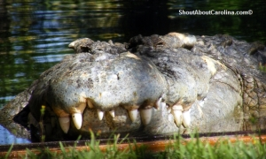 The jaws of the largest croc in US