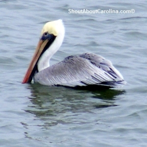 Amazing sea birds in the wild in South Carolina