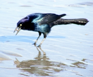 Crow or Grackle carrying food at Cherry Grove Beach