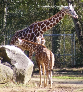 Babies giraffes bonanza at Riverbanks Zoo
