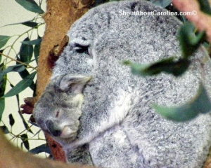 Owen, 9 months old koala joey with his mother Lottie