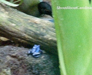 Dendrobates azureus most territorial of dart frogs specie