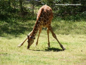 Cute baby giraffe at Riverbanks Zoo