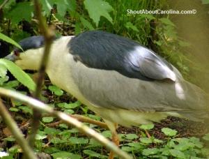 Social nocturnal heron live well at Brookgreen Gardens