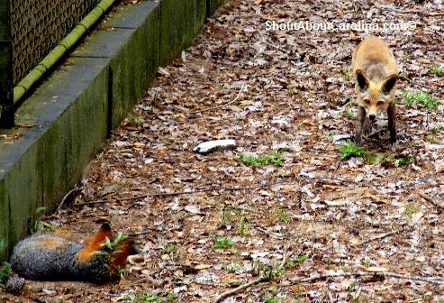 Wild Native Foxes At Brookgreen Gardens Zoo