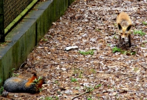 Wild native foxes at Brookgreen Gardens Zoo