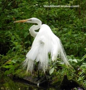 Large freshwater marsh birds near Myrtle Beach