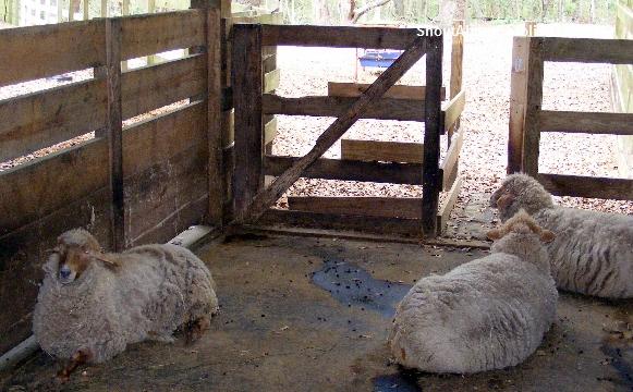 rare breed of sheep at