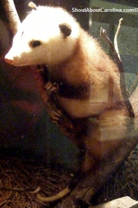 Opossum taxidermy