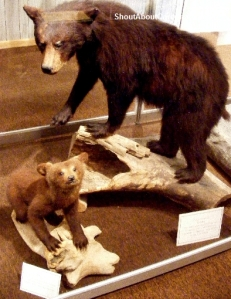 Bear cubs taxidermy display Conway museum