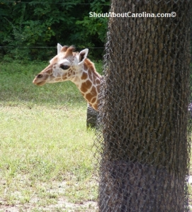 Funny baby giraffe playing at the zoo