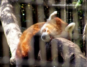 Greenville Zoo red panda survival program