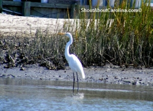 Beautiful egret in the tidal marsh