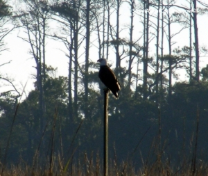 Bald eagle perched on a pole in the middle of the marsh
