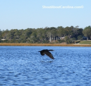 Amazing bird viewing in North Myrtle Beach