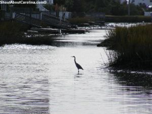 Great blue heron wading at Heritage Shores Nature Preserve
