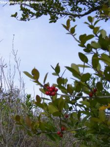 Beautiful holly berries