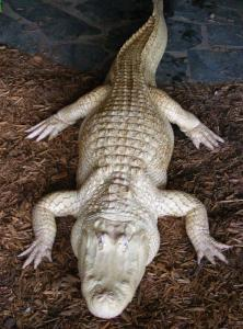 Albino gator inside Alligator Adventure zoo at Barefoot Landing