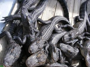 Bunch of cute baby alligators at Barefoot Landing