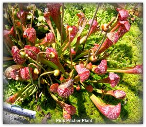 Carnivorous plants native to South and North Carolina