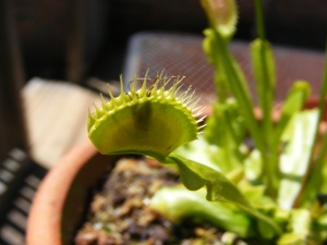 Venus flytrap only lives in South and North Carolina