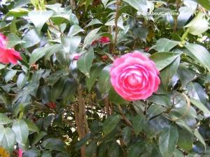 East Asia Camellia japonica varieties