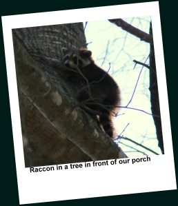 Startled racoon takes shelter in the oak tree