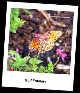 Gulf Fritillary butterfly near Ibis Pond